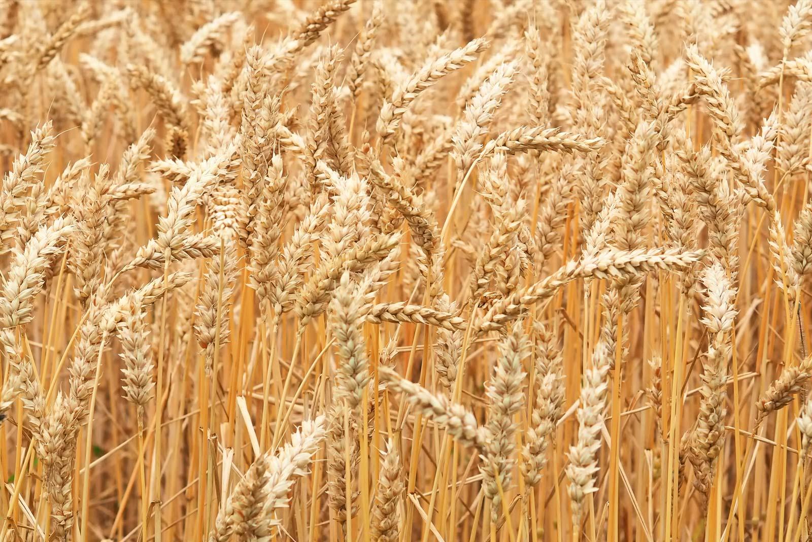 céréales blé