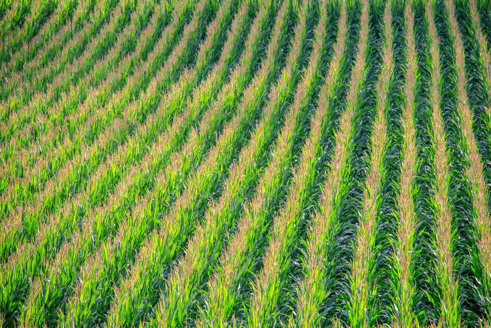 champs maïs lbs seeds