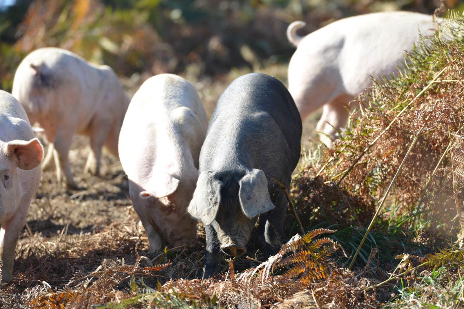 porcs fermiers plein air