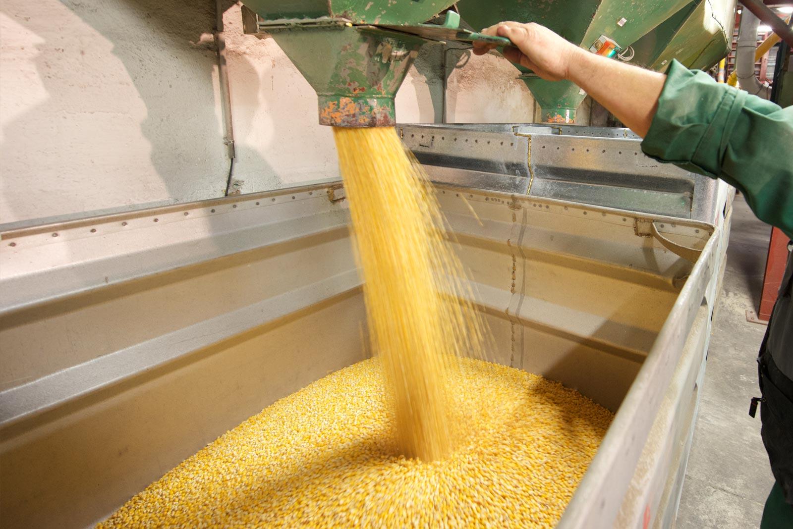 semences maïs