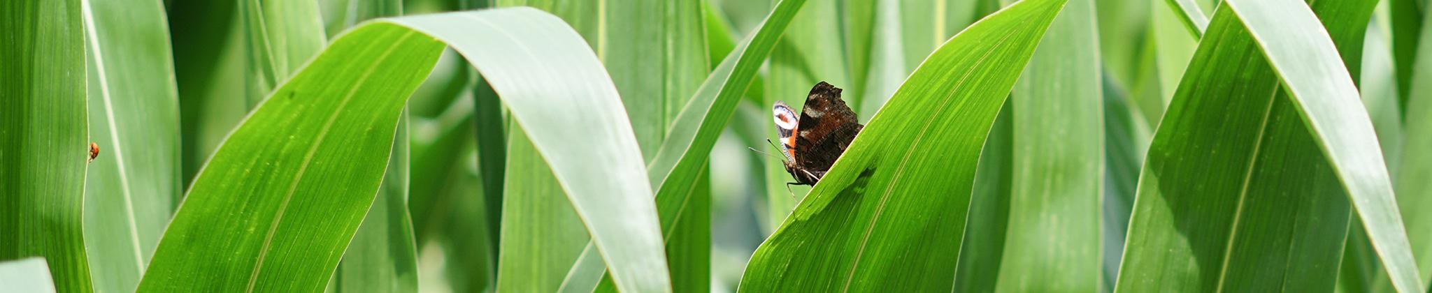 Papillon Lur Innov